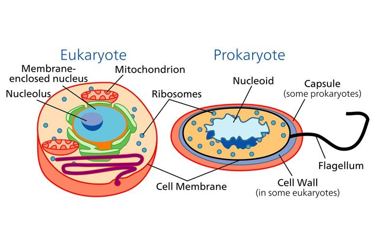 Differences between prokaryotic and eukaryotic cells are