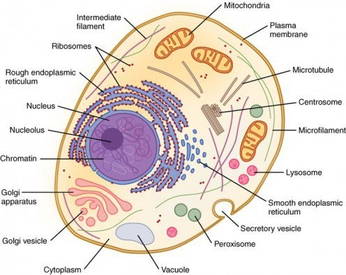 Cell Nucleus Introduction Structure Functions