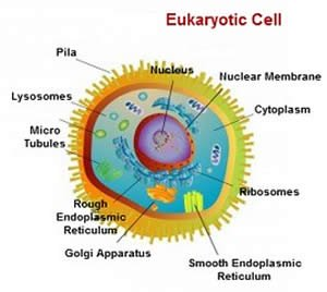 Differences Between Prokaryotic cell and Eukaryotic   cell