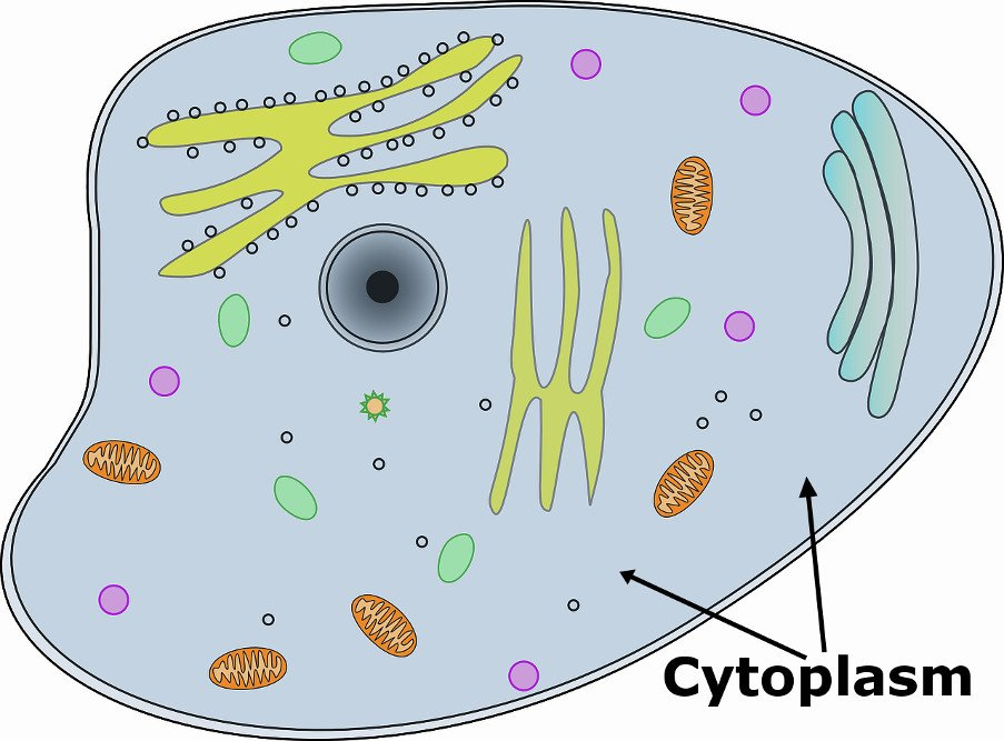 Function of Cytoplasm
