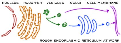 Introduction of Endoplasmic Reticulum | Structure | Functions | Types