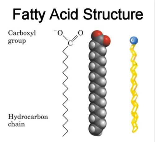 Fatty Acid Structure|Examples| Types | Physical Properties