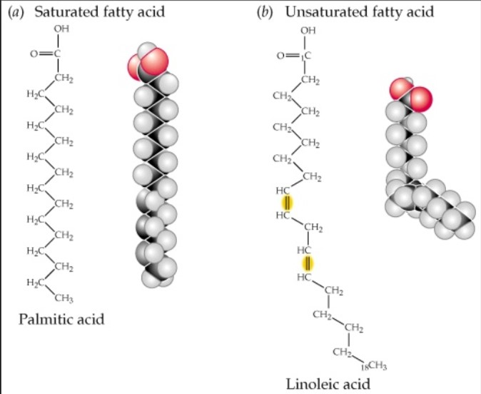 Fatty Acid Structure