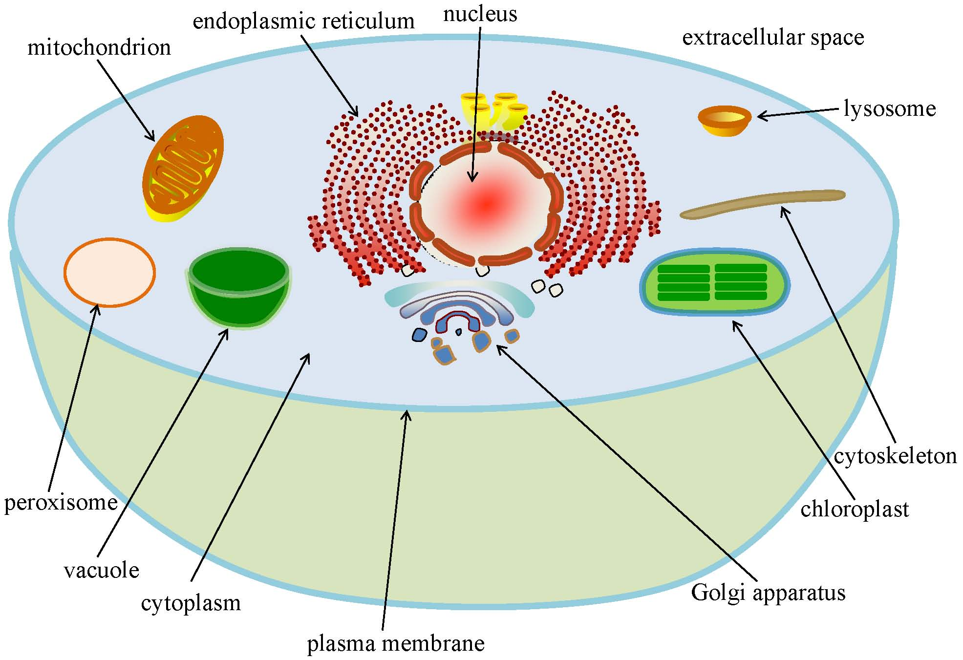 chloroplast function definition structure location