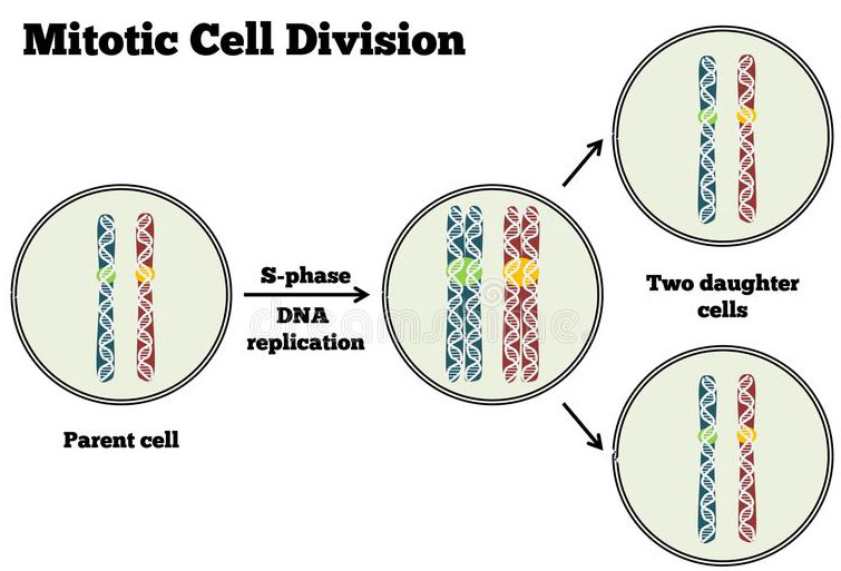 Phases of the Cell Cycle
