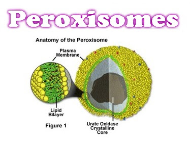 Peroxisomes Structure