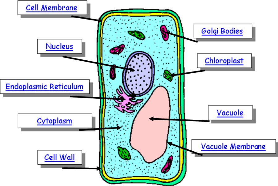 Plant Cell |Structure & Function of Plant Cell |Plant Cell ...