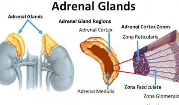 Adrenal Gland